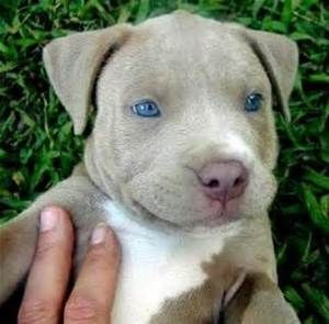 American Blue Brindle Pitbull Puppies With Blue Eyes Bing Images Pitbull Puppies Cute Small Animals Cute Dogs