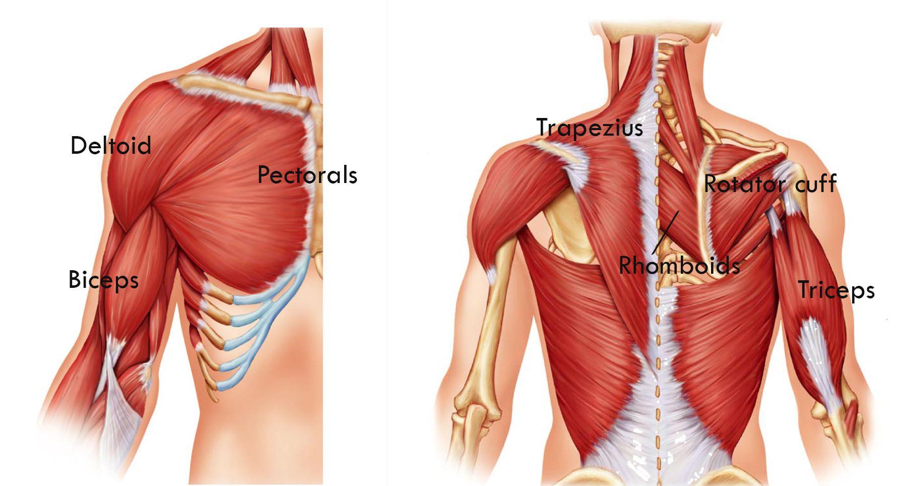 Exercises For The Upper Body Muscles Ot Study Material Pinterest