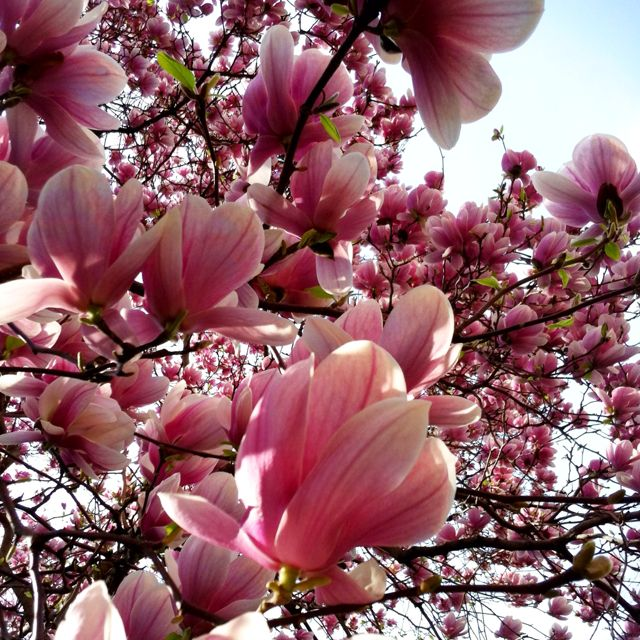 Magnolia Tree Blossoms Last Too Short Bloom Blossom Beautiful Flowers Magnolia Blossom