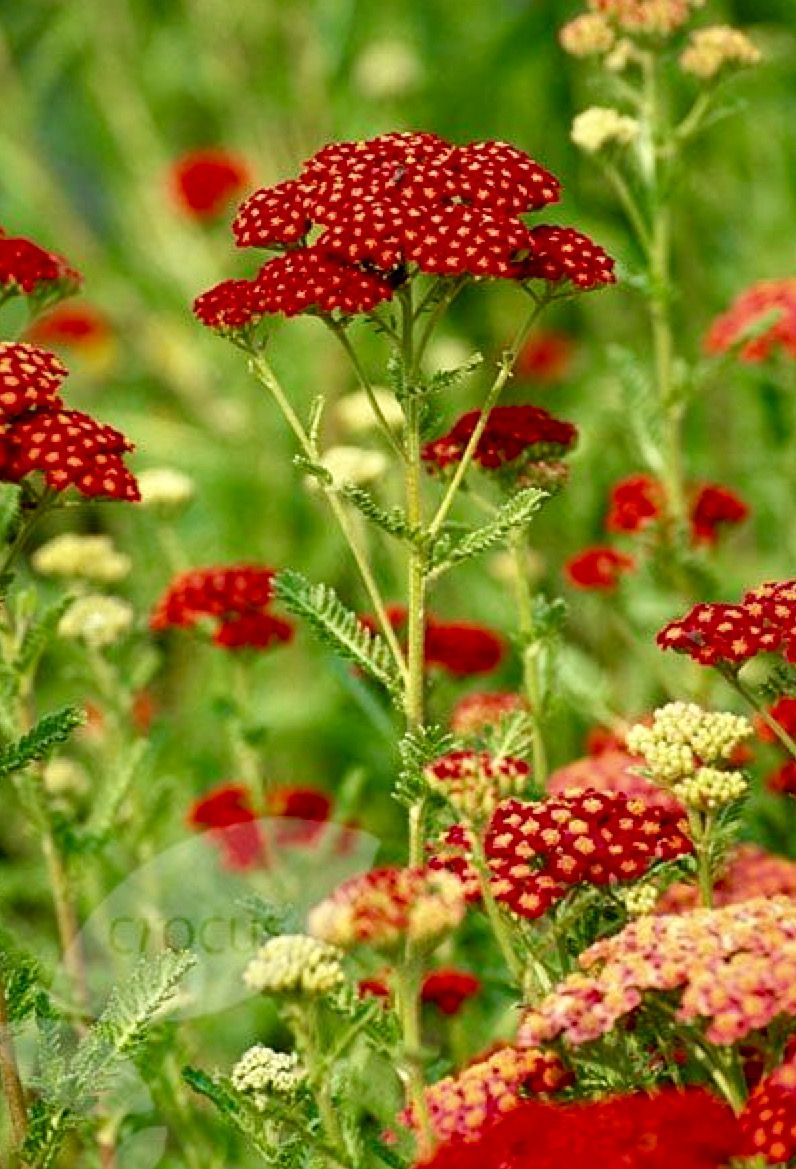 Red Yarrow Red Green Yellow In Nature Red And Green Pinterest