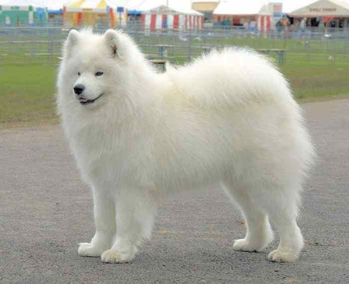 White dog breeds big big fluffy white dog just all cute for Fluffy little dog breeds