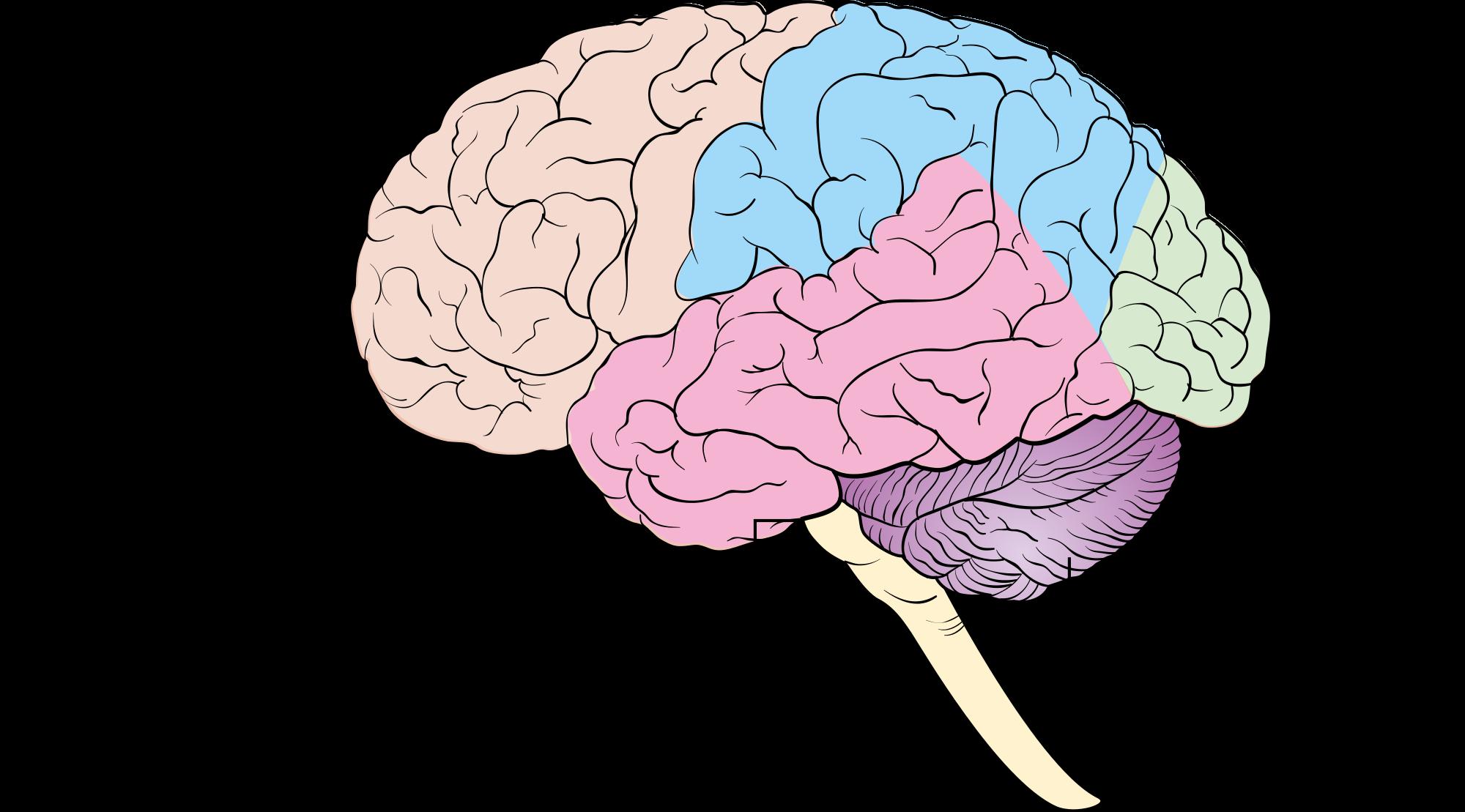 human brain wikipedia the free encyclopedia inspo. Black Bedroom Furniture Sets. Home Design Ideas