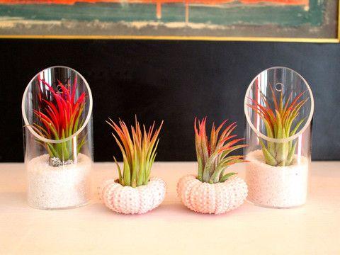 Ionantha Sea Urchin/Glass holder Air Plant kit