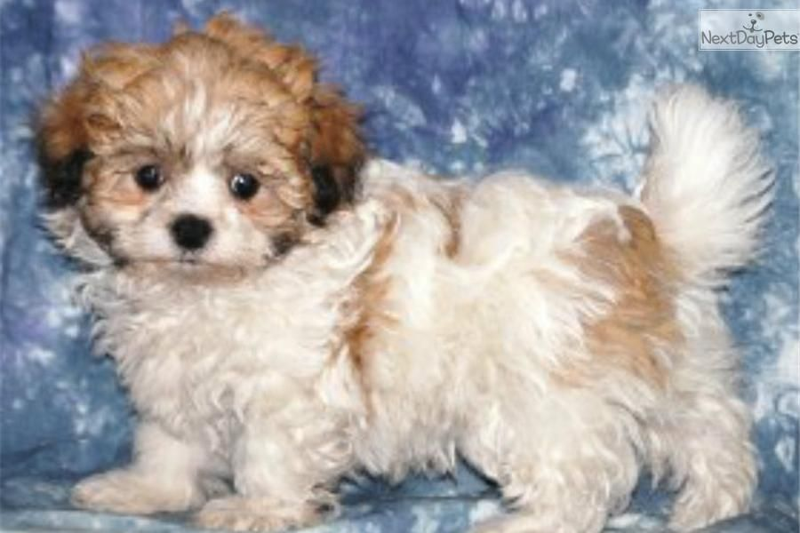 Meet Shih Chon A Cute Shichon Puppy For Sale For 1 100 Shih Chon