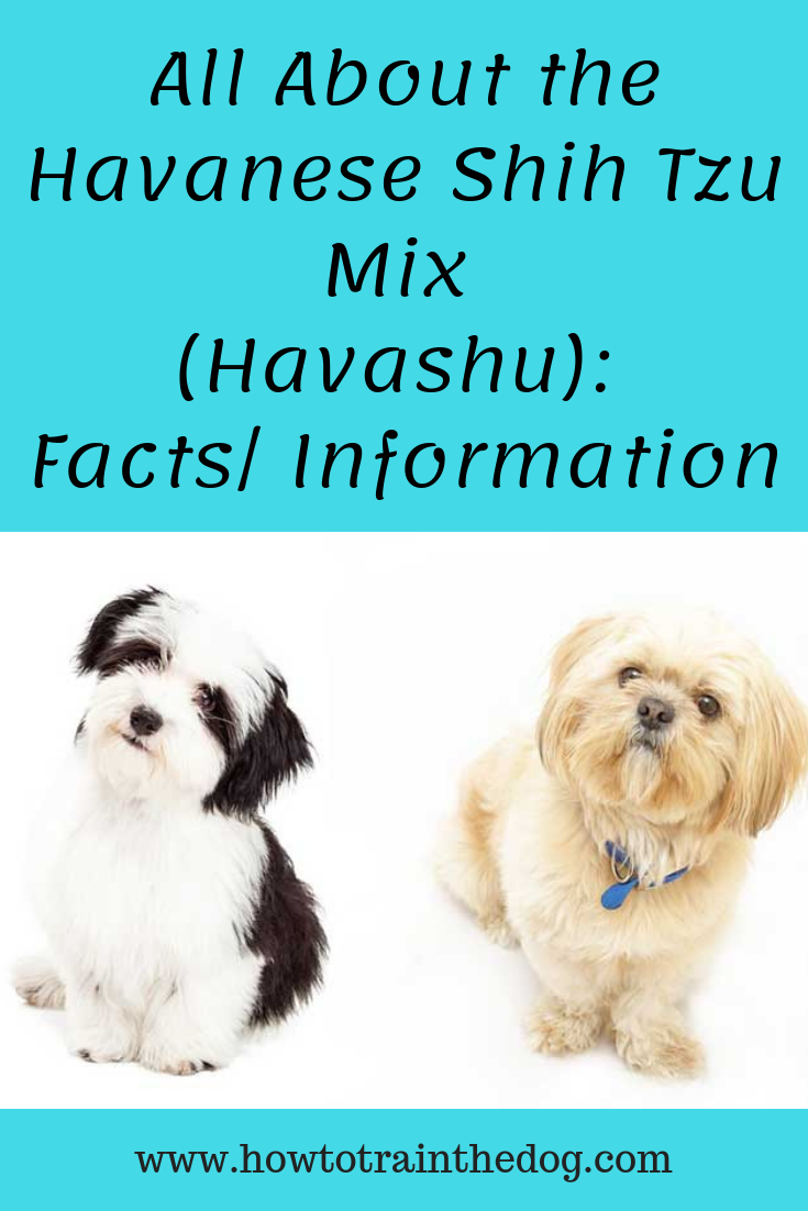 All About The Havanese Shih Tzu Mix Havashu Facts Information Havanese Havanese Puppies Shih Tzu