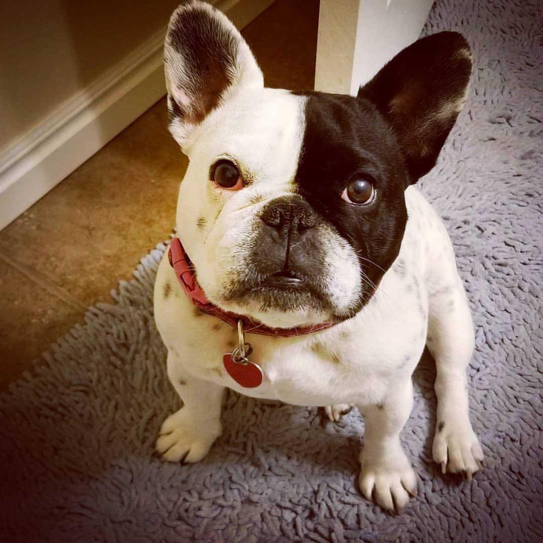 How can you NOT give that face a cookie? French bulldog
