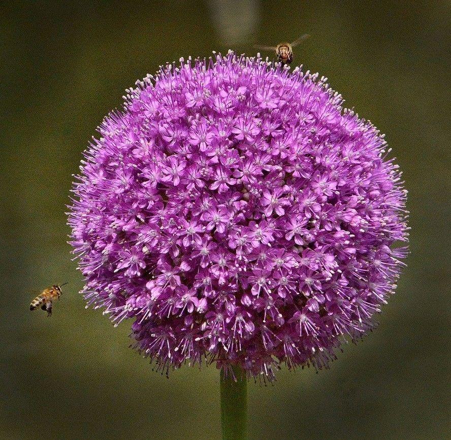 flor de CEBOLA / Onion flower