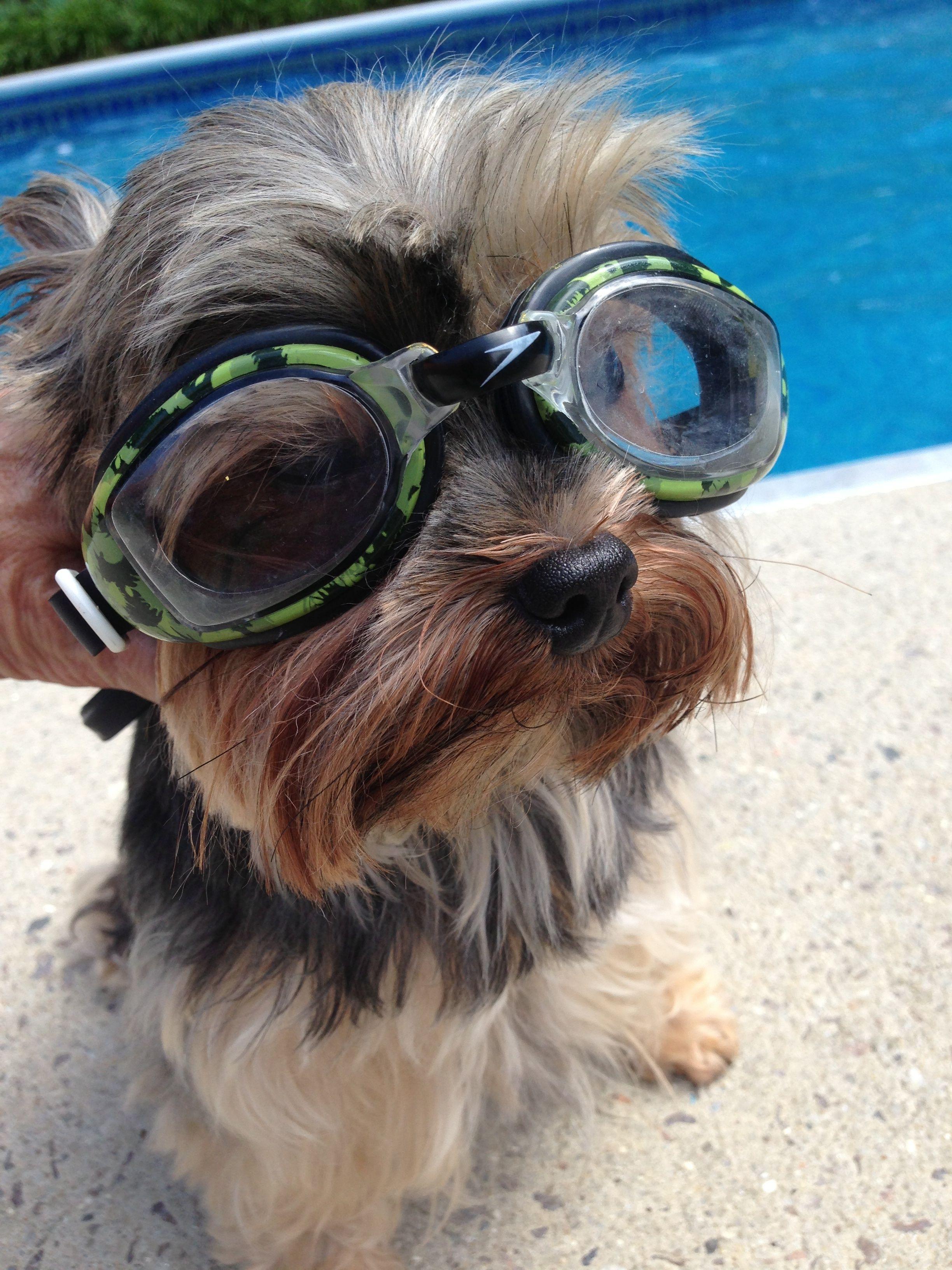 Yorkies Love The Pool Yorkie Lovers Diva Dogs Yorkie