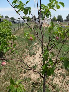 Kathryn S Brain Garden What A Difference A Month Makes Fruit Trees Old Cds Garden