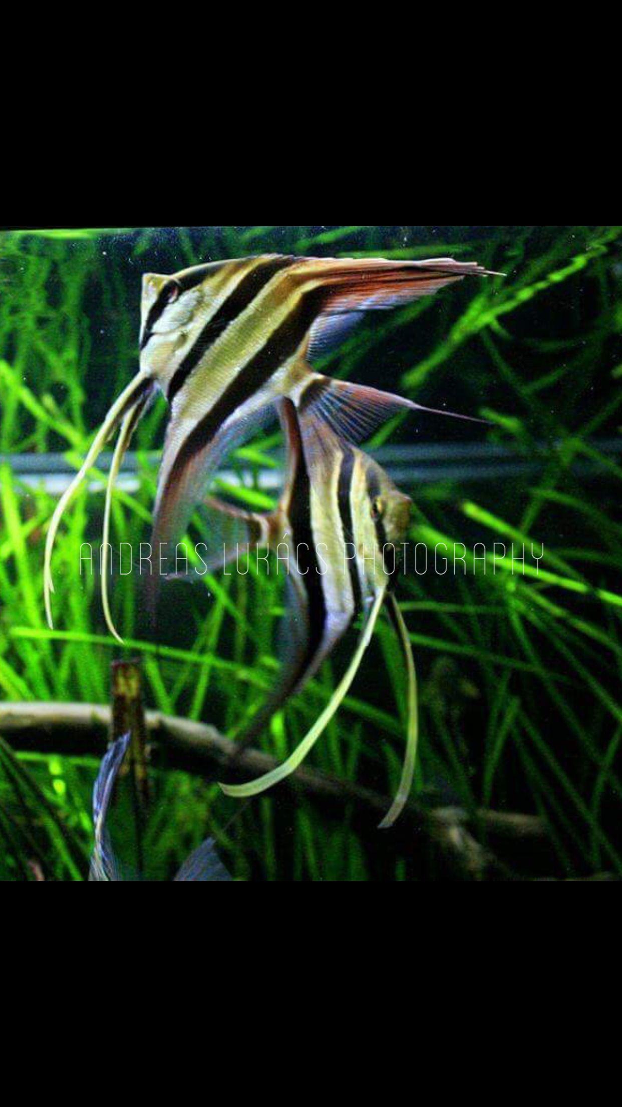 Scalare rio nanay & wild ptum rio orinoco