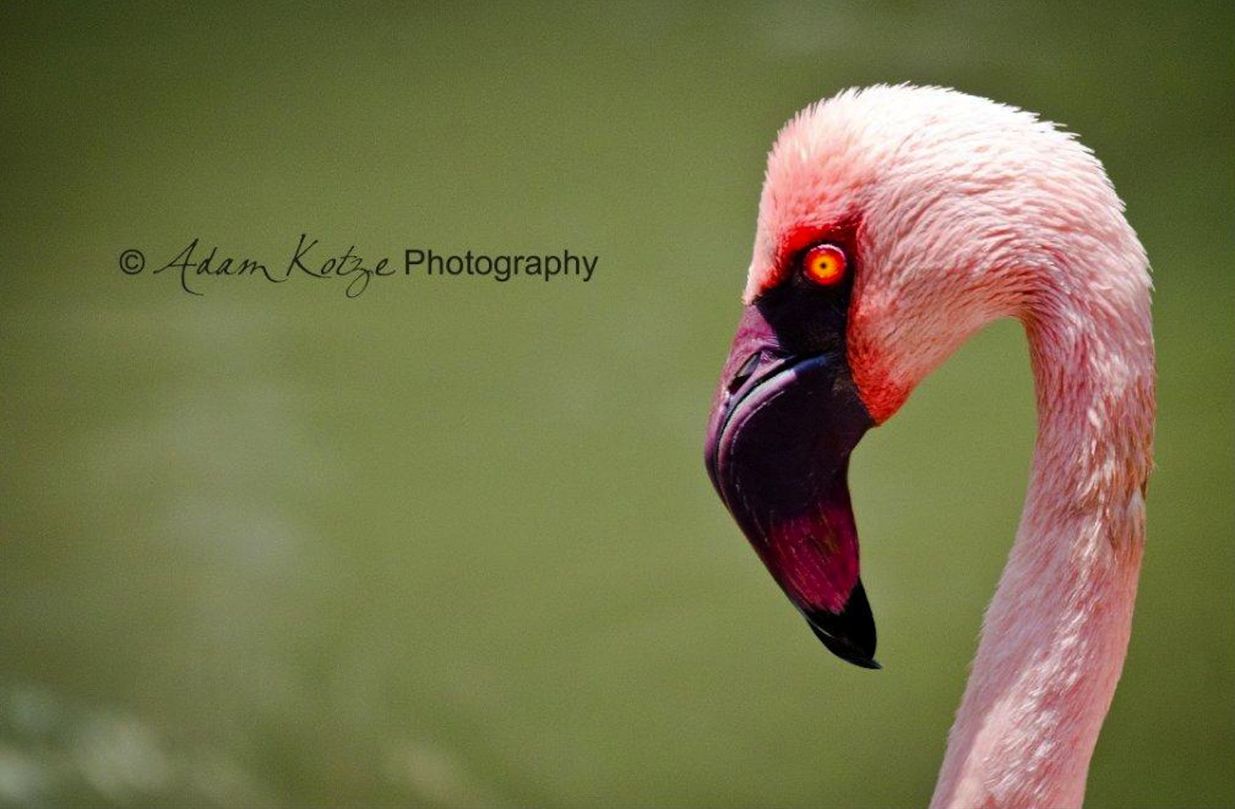 The lesser flamingo lives in Africa and are principally found in the