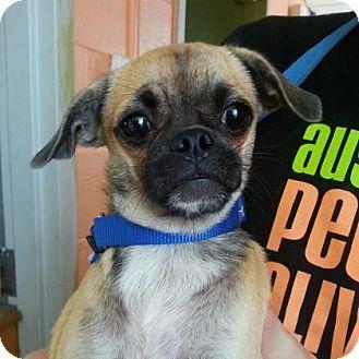 Austin Tx Pug Chihuahua Mix Meet Gordo A Puppy For Adoption