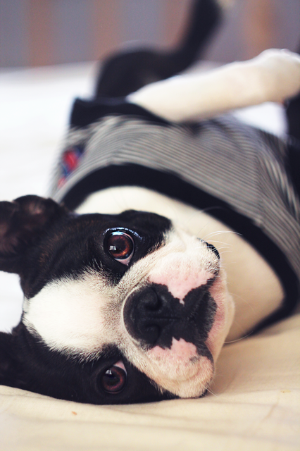 charlie boston terrier 2                                                                                                                                                                                 More