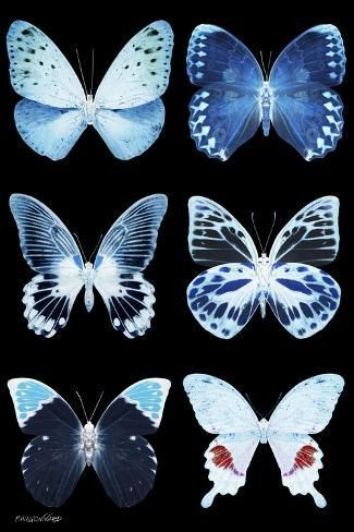 Photographic Print: Miss Butterfly X-Ray Black by Philippe ...