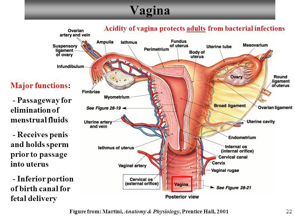 Único Vagina Anatomy And Physiology Imágenes - Anatomía de Las ...