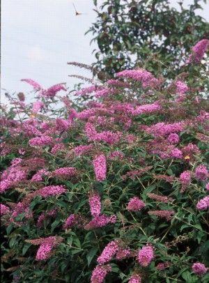 Butterfly Bush Alternatives for Environmentally Friendly ...