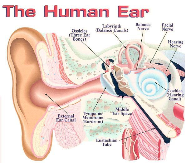 Anatomical Structure Of Ears Ile Ilgili Grsel Sonucu Fen