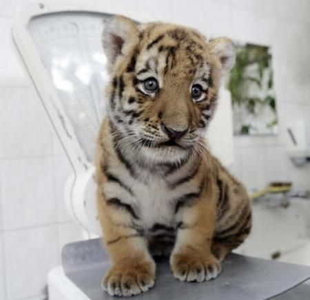 VERY CUTE LITTLE BABY TIGER♥