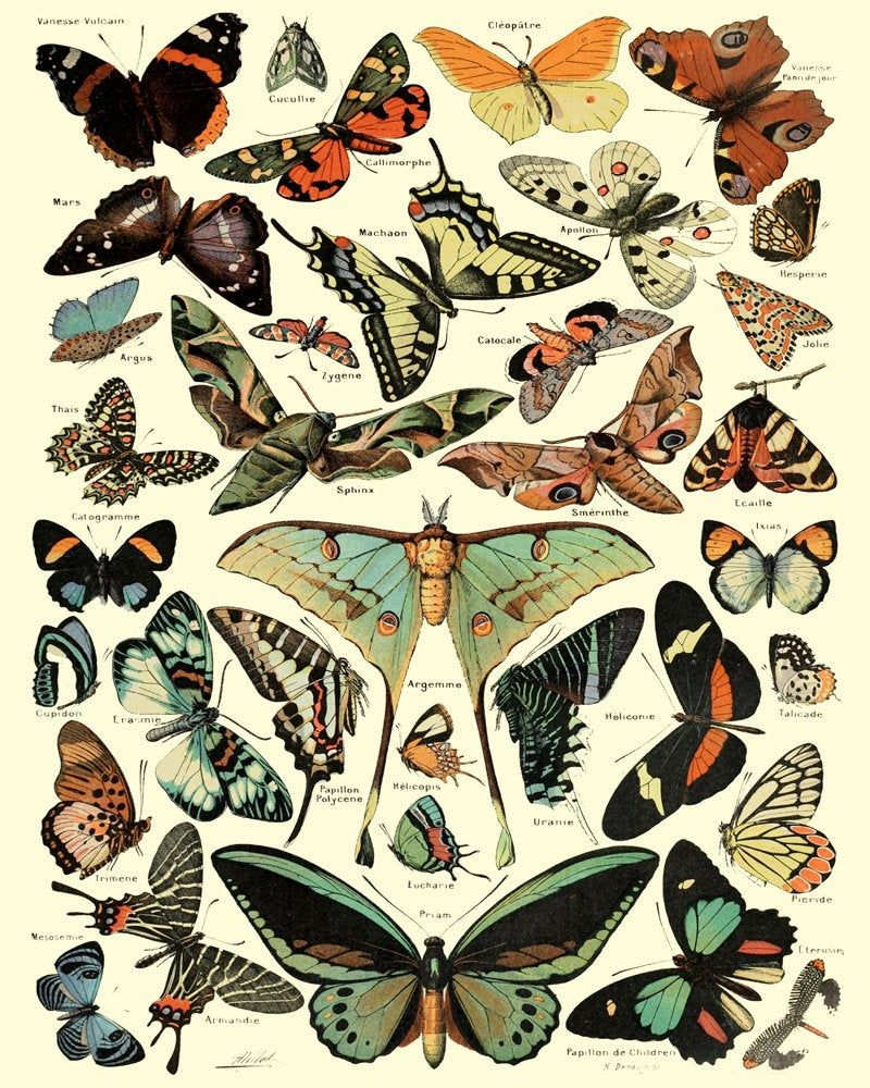 Photo of Botanical Butterfly Illustrations Butterfly Prints Butterfly Poster Vintage Insect Botanical Drawing Butterfly Art Butterfly Decor