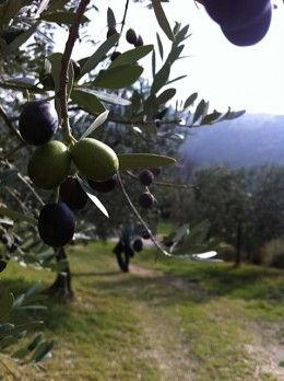 How To Prune Olive Trees Pruning Olive Trees Olive Tree Care Olive Tree
