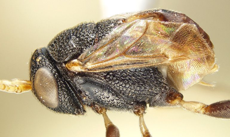 African wasp
