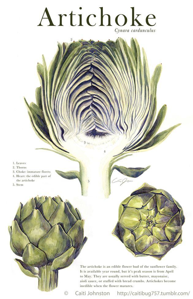 scientific illustration  artichoke