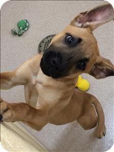 Birmingham, AL - Labrador Retriever/Shar Pei Mix. Meet Holiday a Puppy for Adoption.