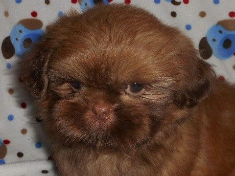 Litter Of 6 Shih Tzu Puppies For Sale In Dixon Il Adn 31750 On