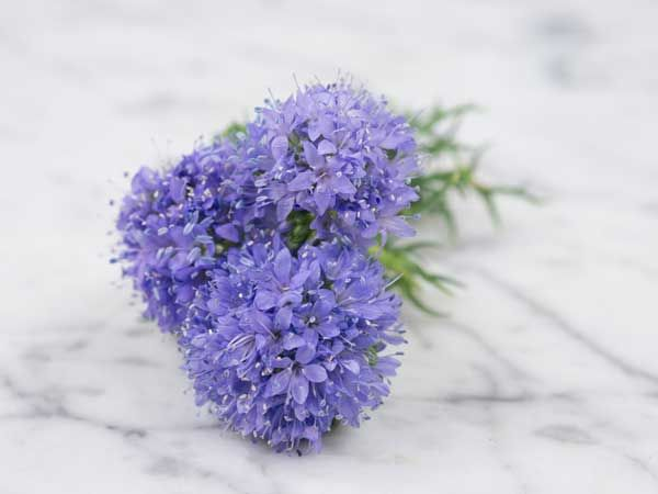 "Gilia Globe  Hardy annual. Globe-shaped, tightly-packed clusters of sky-blue to violet flowers are sweetly scented. Held about 15"" above the ground, the flowers come over a long season. Very attractive to butterflies and bees and makes great forage. Perfect for roadside plantings, meadows and, of course, flower borders. Makes a fine cut flower; self-sows freely where the environment suits it."