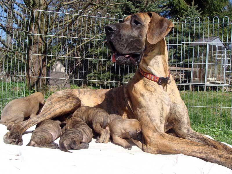Gestromte Deutsche Dogge Deutsche Doggen Welpen Gelb Gestromt Mit Vdh Ddc Ahnentafel Dogge Deutsche Dogge Welpen Doggen Welpen Deutsche Doggen