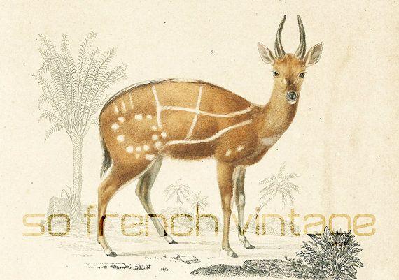 1861 Lithographie Antilope Orbigny Planche Originale Couleurs peintes à la main Qualité Exceptionnelle animaux alpaga vie sauvage zoologie
