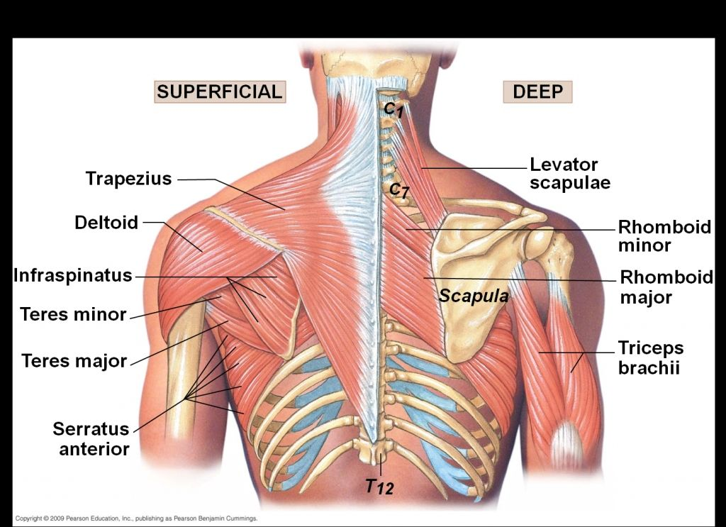 best 20+ scapula ideas on pinterest | shoulder joint anatomy, body, Human Body