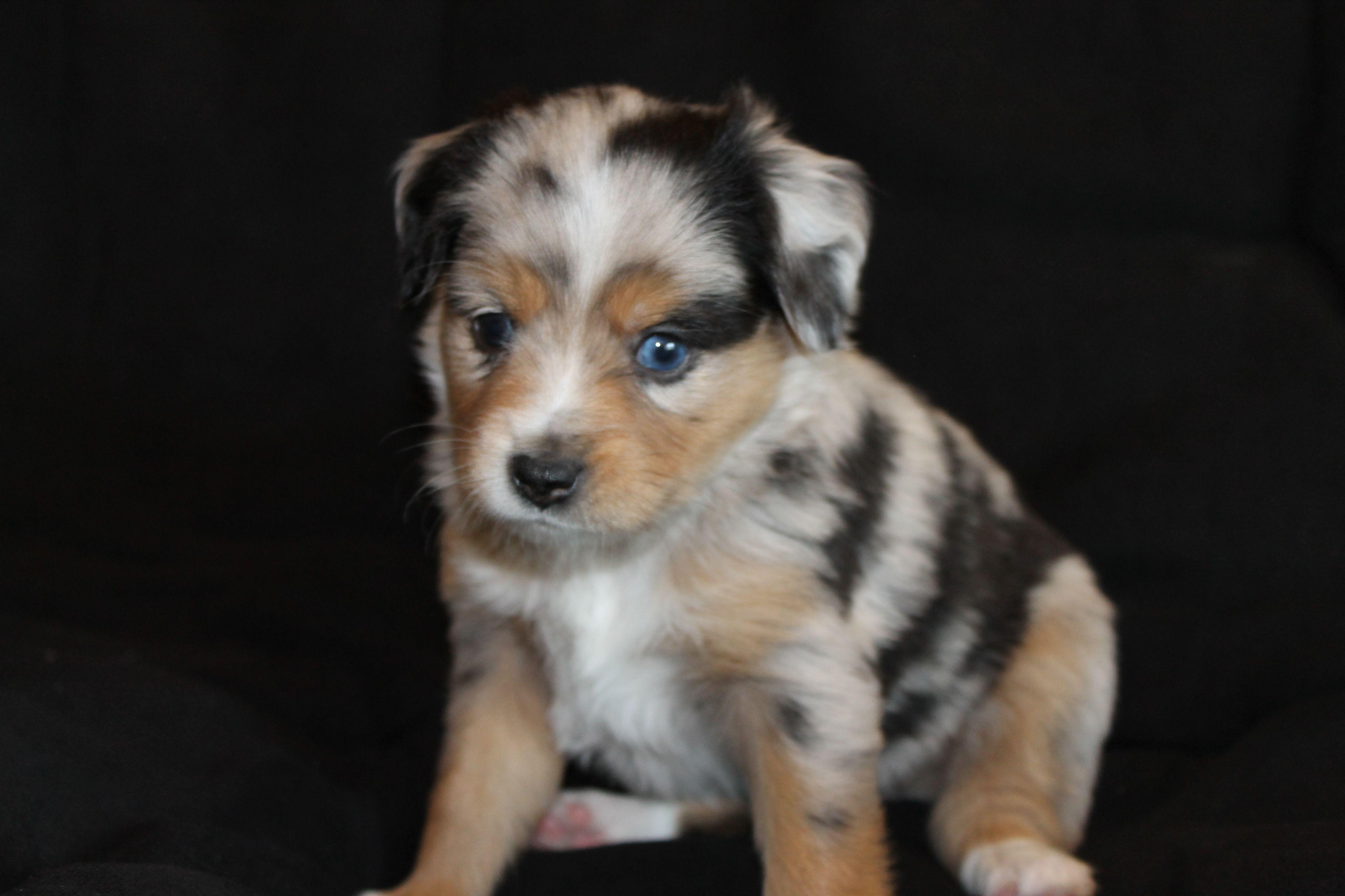 Colors Of Aussies Alangus Mini Aussies A Dog Blog Dog Blog