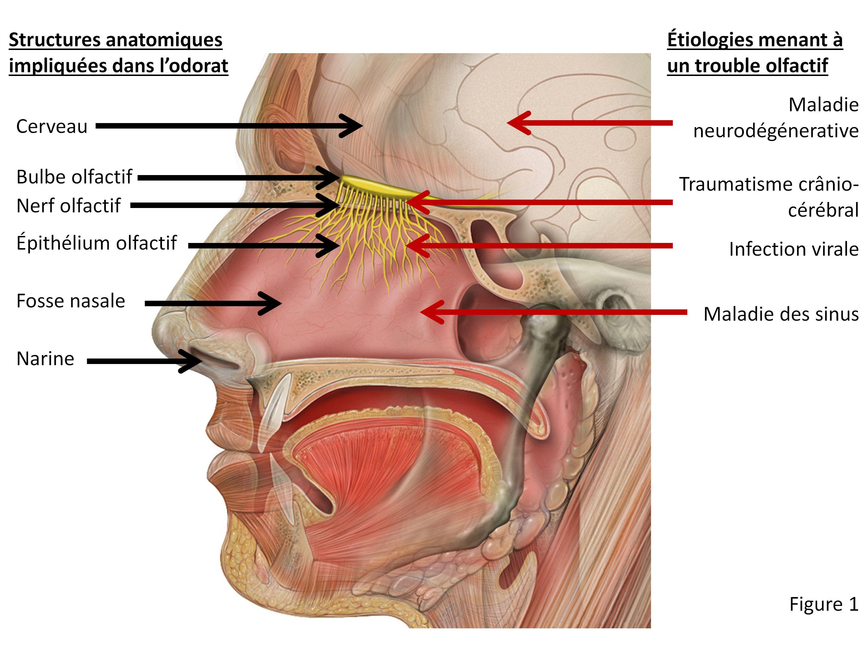 L\'anatomie et la physiologie du système olfactif | OS et MUSCLES de ...