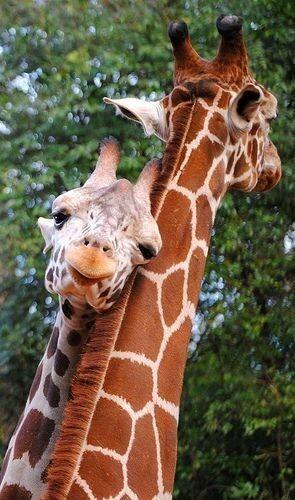 Giraffe love. | Amazing + Amusing Animals | Милые детеныши ...