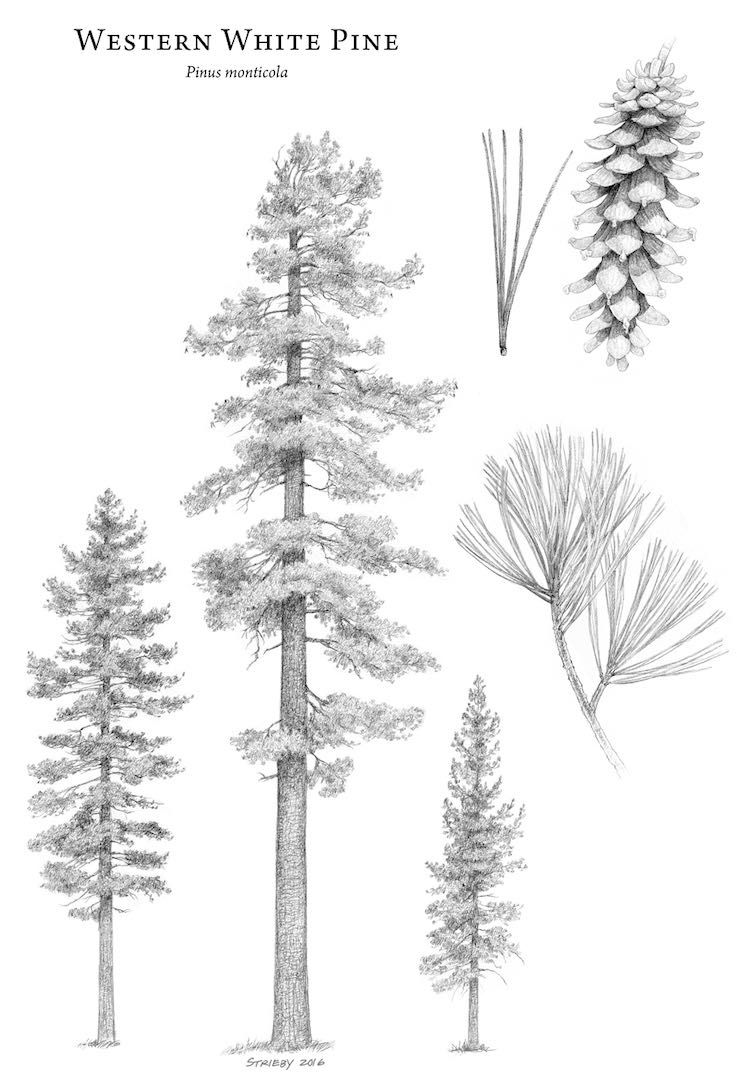 The Amazing World Of Conifers Gymnosperm Conifer Trees Trees To Plant