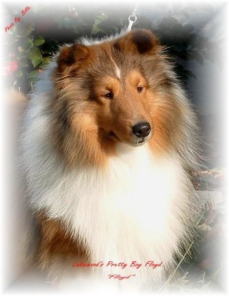 Mason S Dad Sheltie Sheepdog Shetland Sheepdog