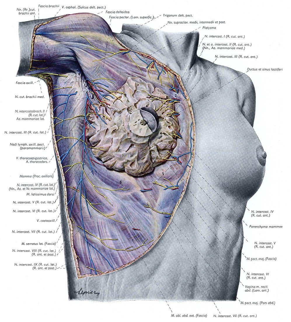 Topographische Anatomie Des Menschen («Топографическая анатомия ...