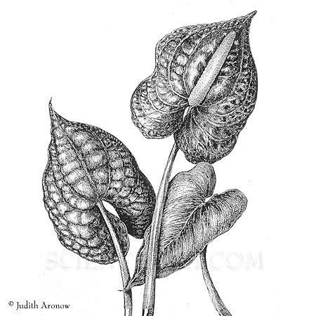 Anthurium Botanik