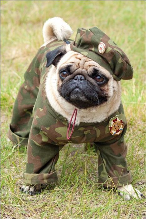 Army Pug Pugs Funny Pugs In Costume Cute Pugs