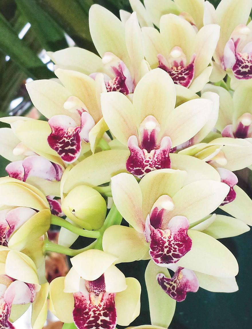 Cascading Cymbidium Mary Green Is A Flowering Machine With Multiple Spikes Of 20 30 5 5cm Flowers On Cascading St Cymbidium Orchids Mary Green Green Orchid