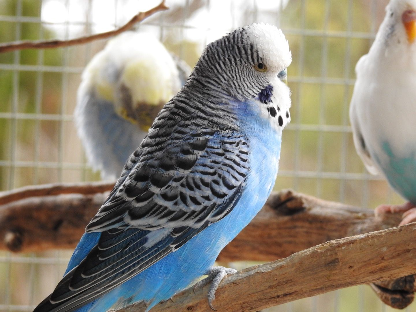 Normal Blue Male Budgie Normalbluebudgie Budgie Bluebudgie English Budgie Budgies Blue Budgie
