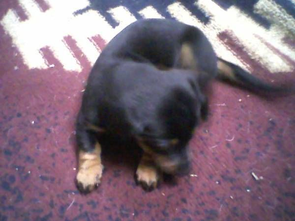 Dash Hound Dachshund Puppy Estacada With Images Wiener