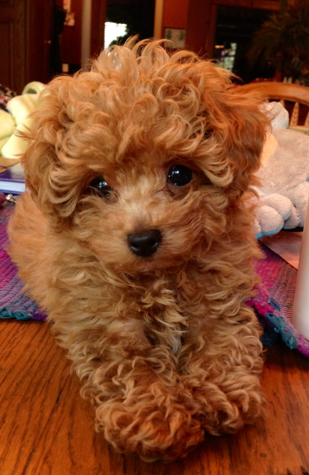 Pin By Jodi Shannon On Everything Poodle Puppy Toy Poodle Puppies Toy Poodle
