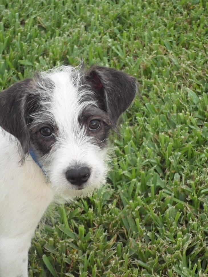 Adopt Shirley On Terrier Dogs Adoption Dogs