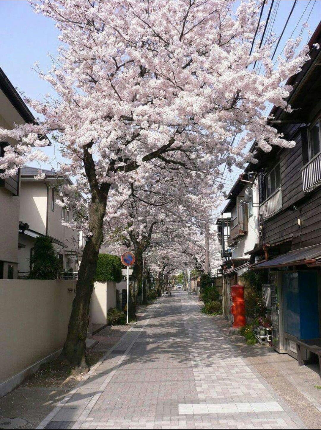 Cherry Blossom Aesthetic Japan