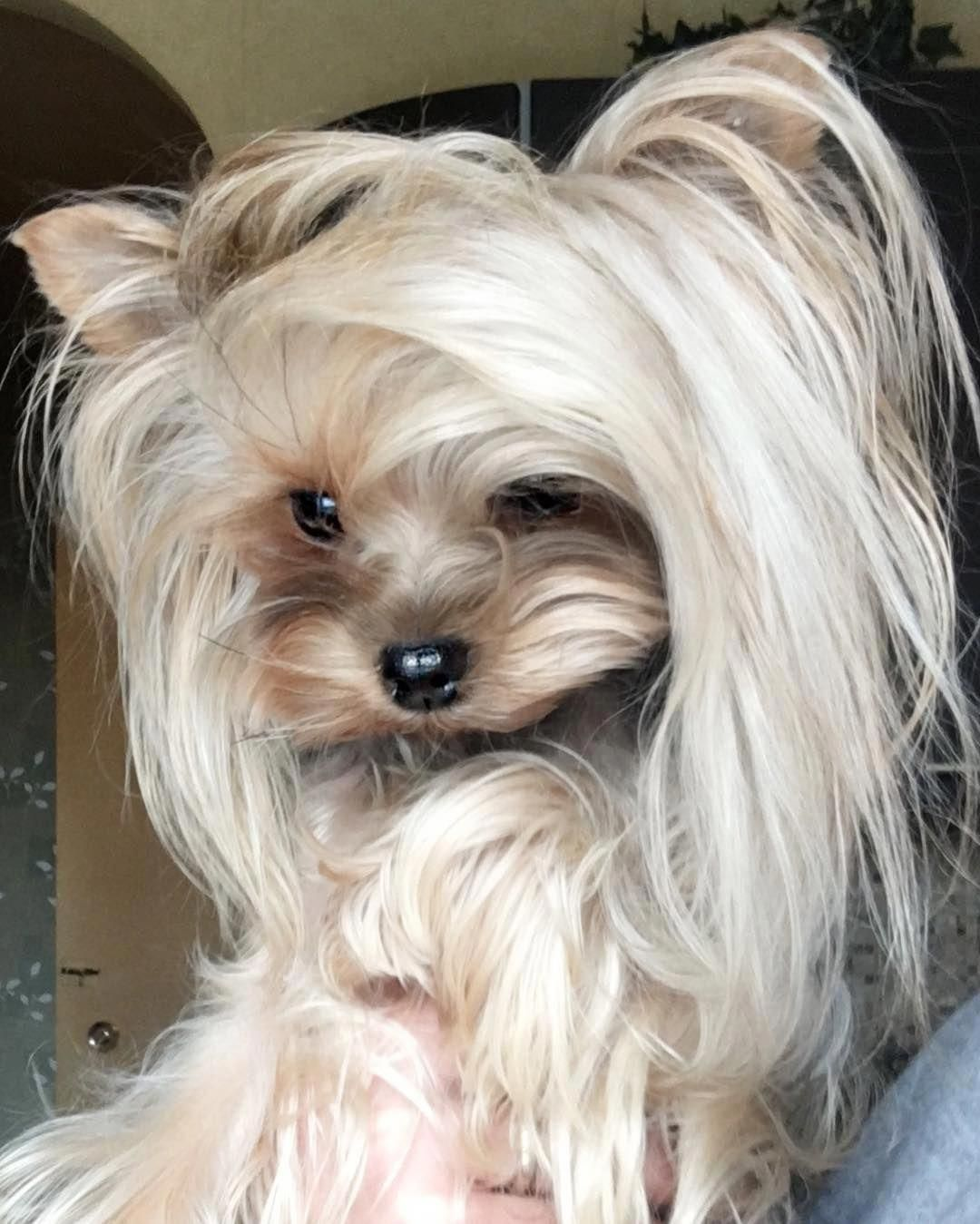Yorkshire Terriers Are A Little Type Of Toy Dogs Weighing A Weak