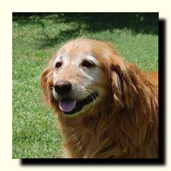 Margo Avail Soon Is An Adoptable Golden Retriever Dog In Dallas