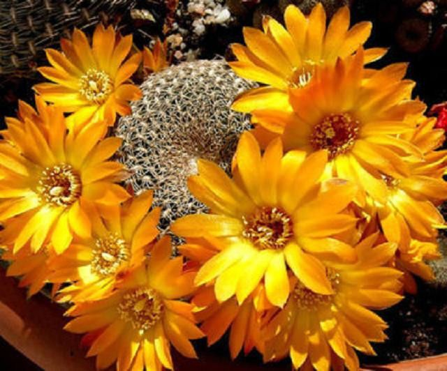 rare and unusal flowering cacti and cactus | 1000x1000.jpg
