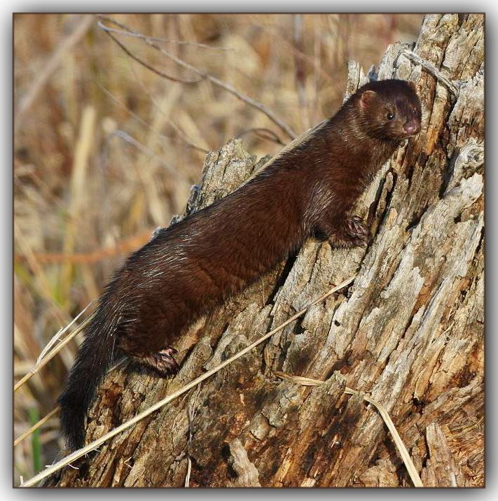 Mink Family Hunting - YouTube